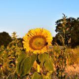 zonnenbloem-montferland